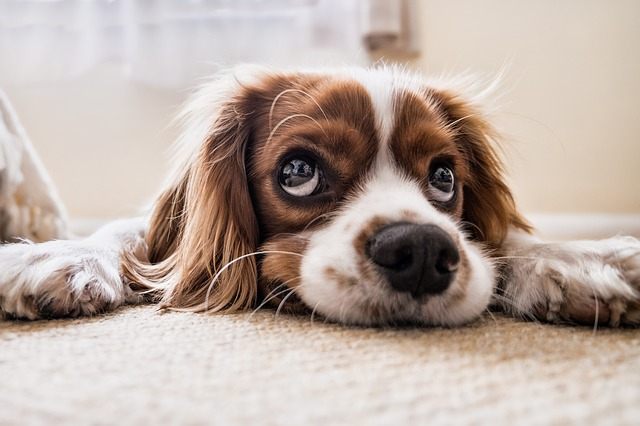 How to Remove Dog Hair from Car Carpet